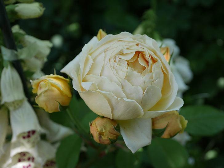 ジュード・ジ・オブスキュア(ツルバラ)の花がまた咲いた。2019年-1.jpg