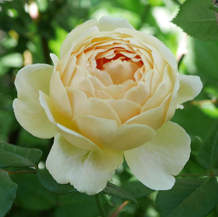 ジュード・ジ・オブスキュア(ツルバラ)の花がまた咲いた。2019年-10.jpg