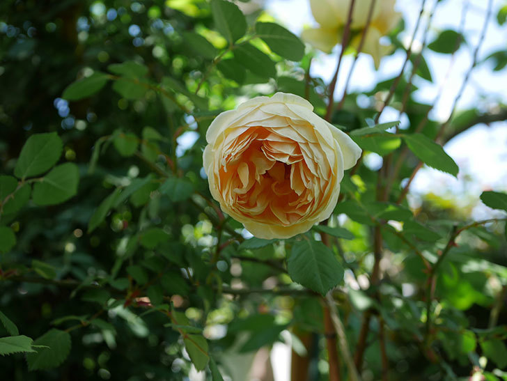 ジュード・ジ・オブスキュア(ツルバラ)の花がまた咲いた。2019年-11.jpg