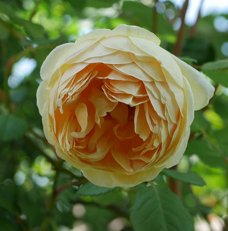 ジュード・ジ・オブスキュア(ツルバラ)の花がまた咲いた。2019年-12.jpg