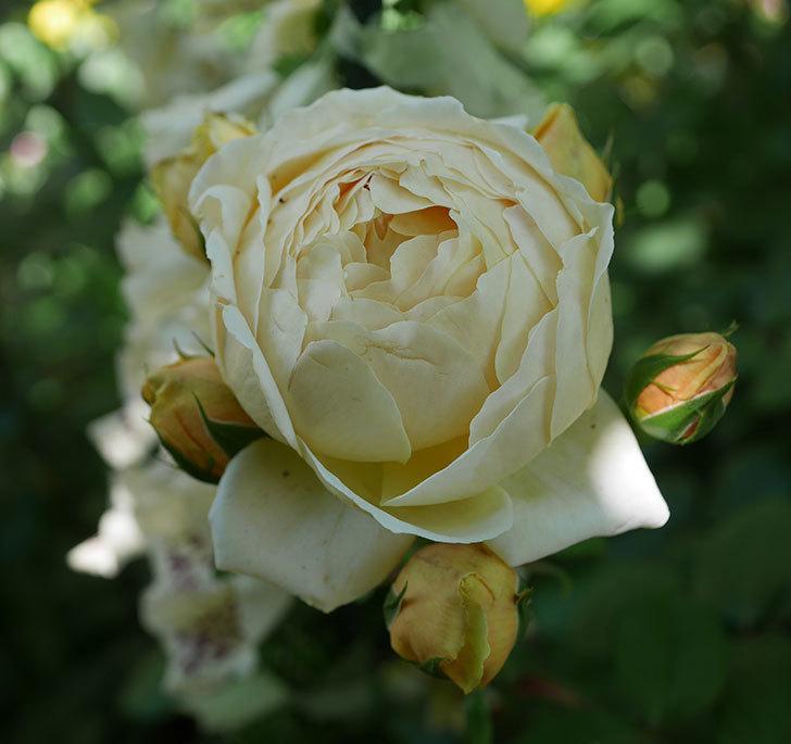 ジュード・ジ・オブスキュア(ツルバラ)の花がまた咲いた。2019年-13.jpg