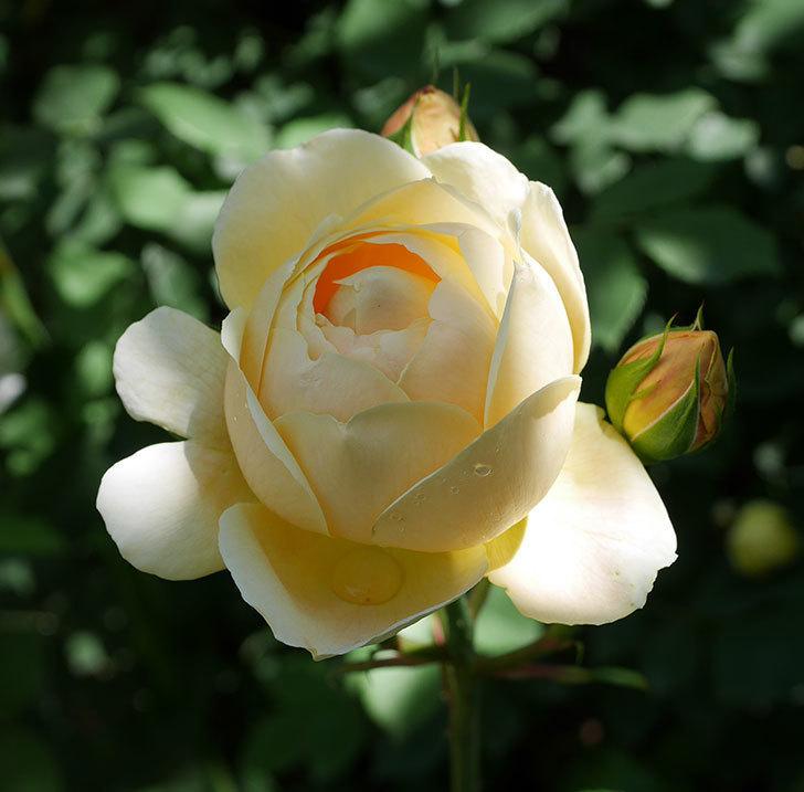 ジュード・ジ・オブスキュア(ツルバラ)の花がまた咲いた。2019年-14.jpg