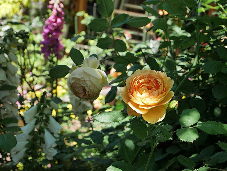 ジュード・ジ・オブスキュア(ツルバラ)の花がまた咲いた。2019年-15.jpg