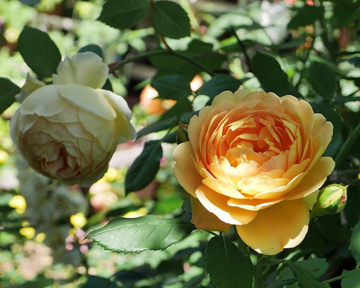 ジュード・ジ・オブスキュア(ツルバラ)の花がまた咲いた。2019年-17.jpg