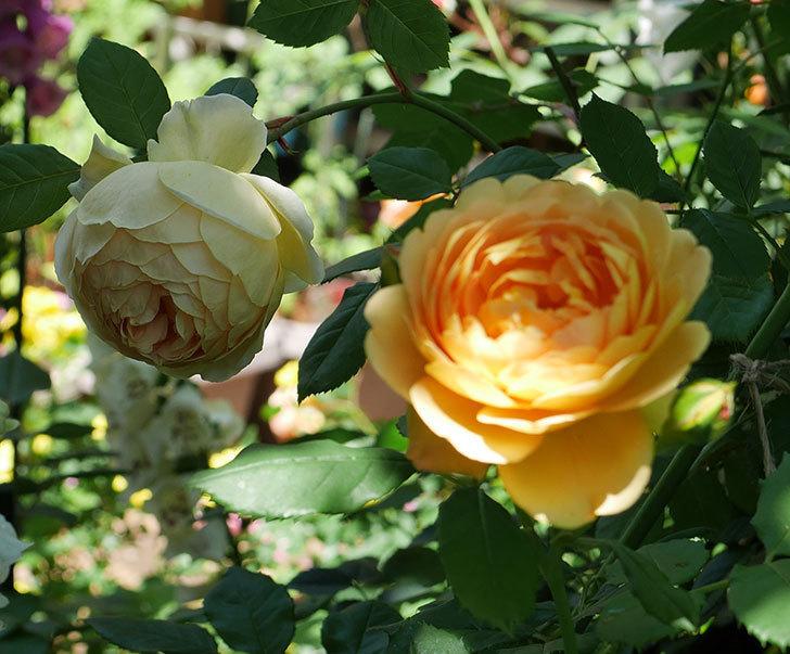 ジュード・ジ・オブスキュア(ツルバラ)の花がまた咲いた。2019年-18.jpg
