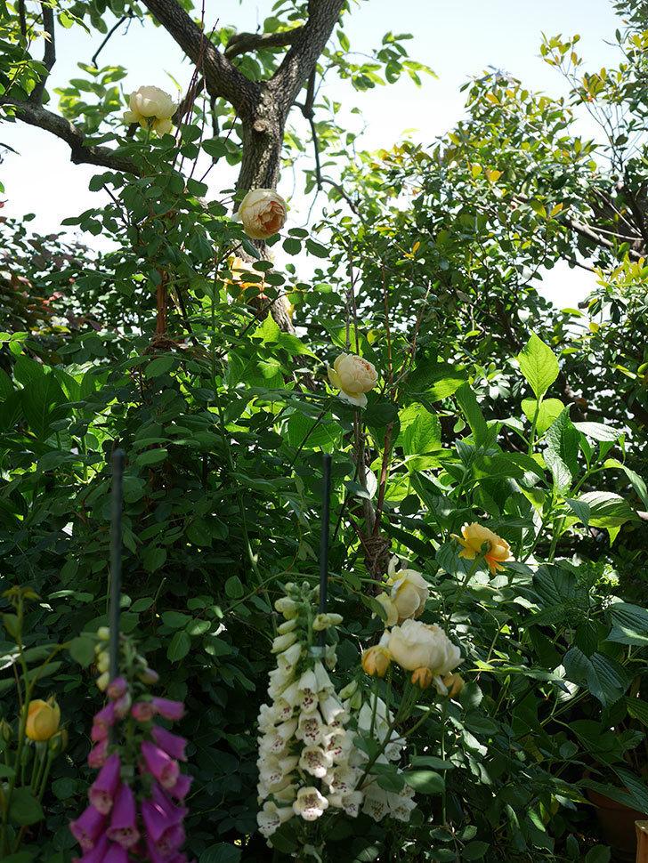 ジュード・ジ・オブスキュア(ツルバラ)の花がまた咲いた。2019年-20.jpg