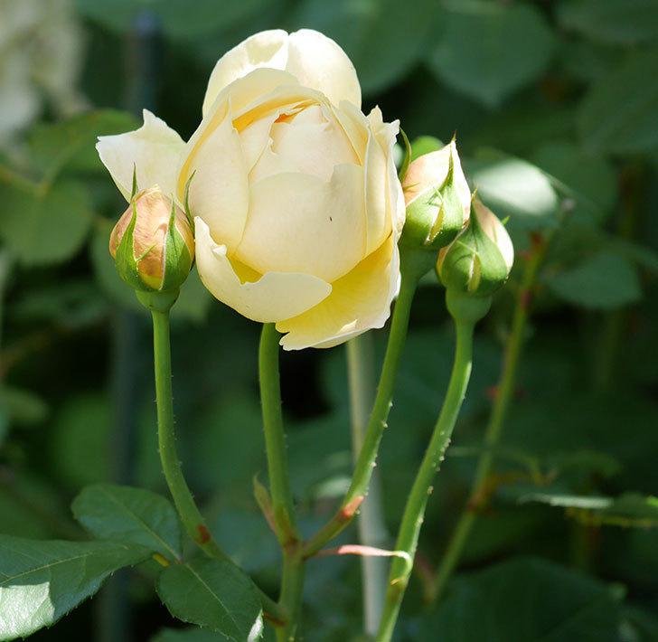 ジュード・ジ・オブスキュア(ツルバラ)の花がまた咲いた。2019年-21.jpg