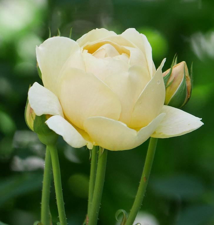 ジュード・ジ・オブスキュア(ツルバラ)の花がまた咲いた。2019年-22.jpg