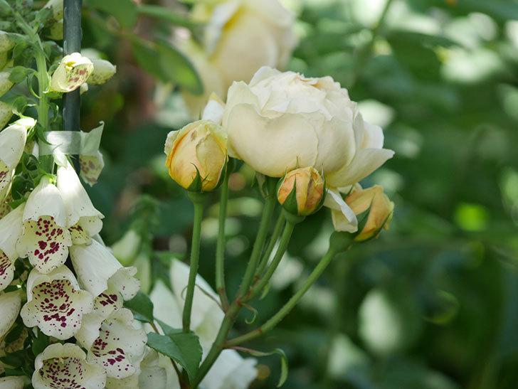 ジュード・ジ・オブスキュア(ツルバラ)の花がまた咲いた。2019年-23.jpg