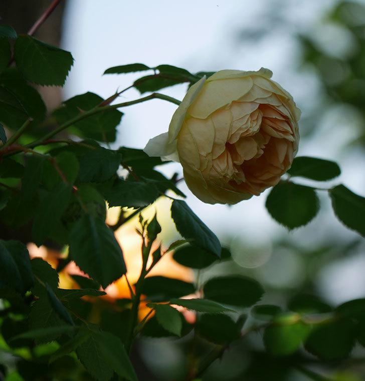 ジュード・ジ・オブスキュア(ツルバラ)の花がまた咲いた。2019年-24.jpg