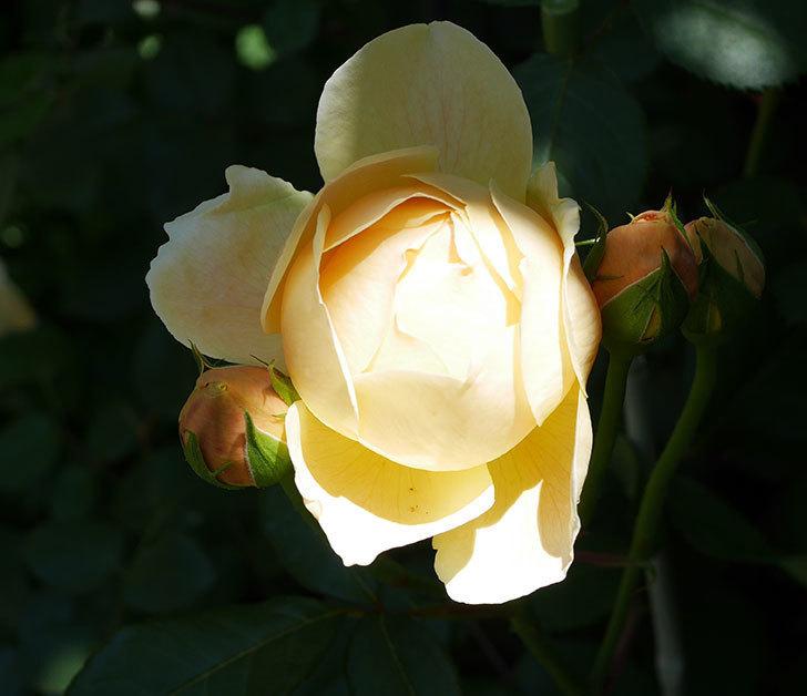 ジュード・ジ・オブスキュア(ツルバラ)の花がまた咲いた。2019年-3.jpg