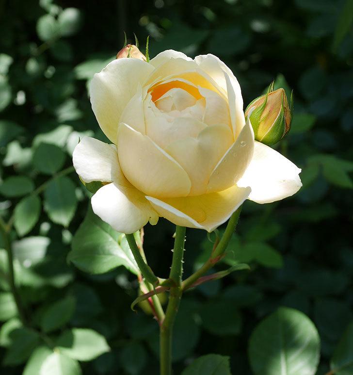 ジュード・ジ・オブスキュア(ツルバラ)の花がまた咲いた。2019年-5.jpg