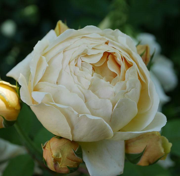 ジュード・ジ・オブスキュア(ツルバラ)の花がまた咲いた。2019年-6.jpg