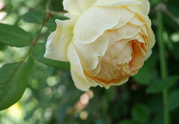 ジュード・ジ・オブスキュア(ツルバラ)の花がまた咲いた。2019年-8.jpg