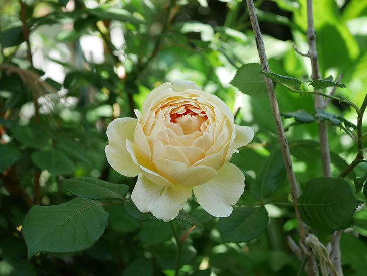 ジュード・ジ・オブスキュア(ツルバラ)の花がまた咲いた。2019年-9.jpg