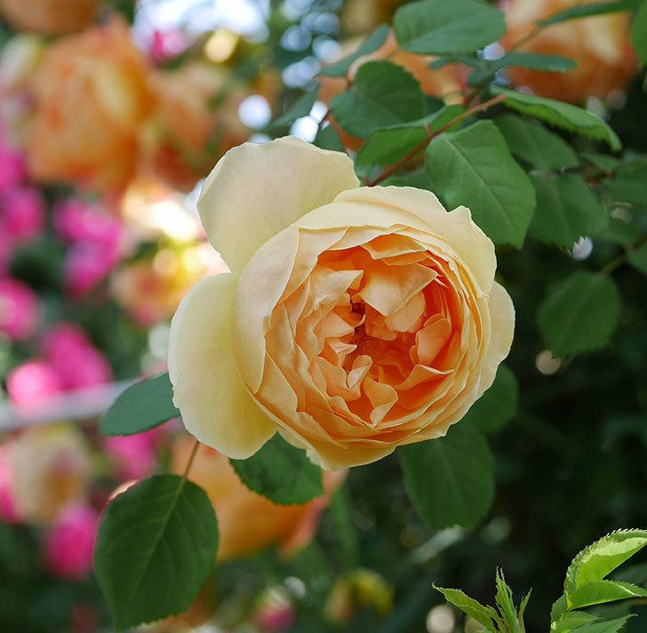 ジュード・ジ・オブスキュア(ツルバラ)の花が咲いた。2019年-1.jpg