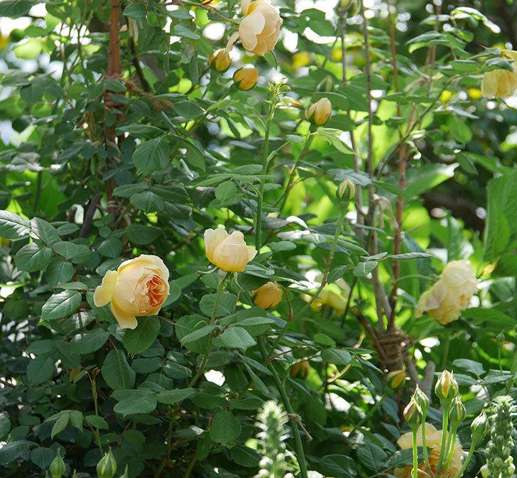 ジュード・ジ・オブスキュア(ツルバラ)の花が咲いた。2019年-11.jpg