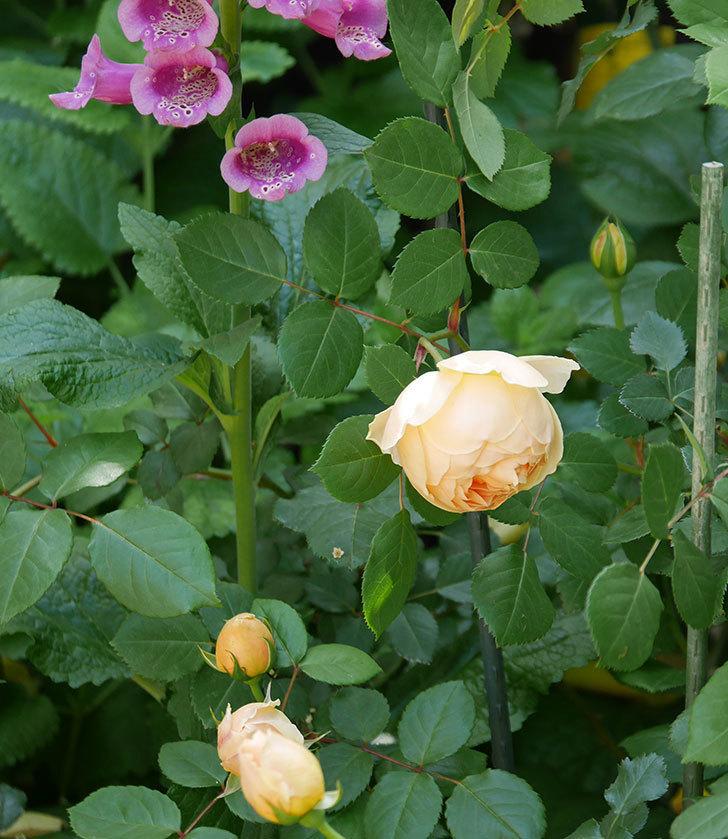 ジュード・ジ・オブスキュア(ツルバラ)の花が咲いた。2019年-12.jpg