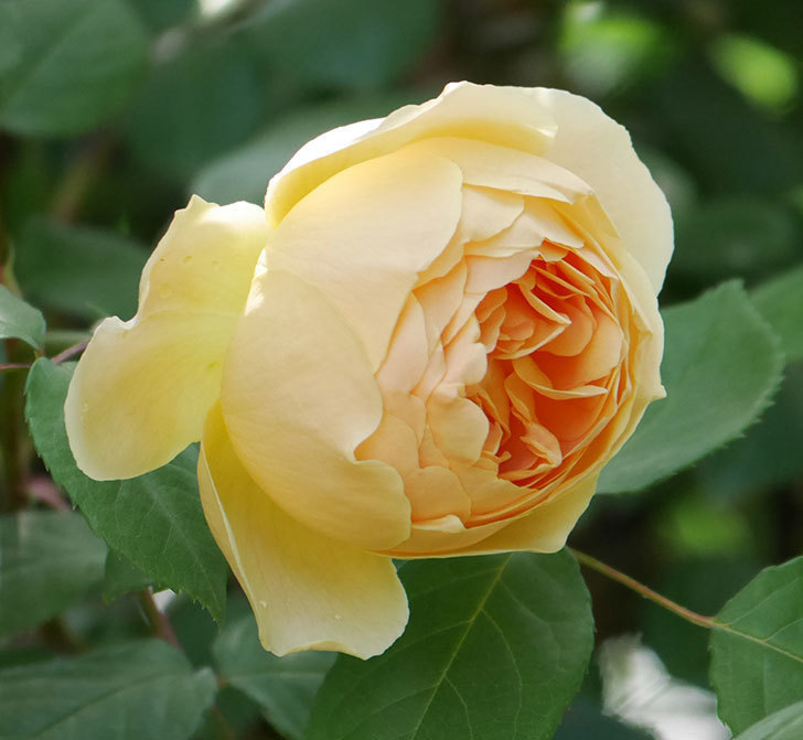 ジュード・ジ・オブスキュア(ツルバラ)の花が咲いた。2019年-13.jpg
