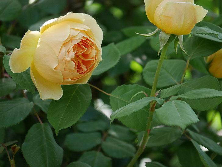 ジュード・ジ・オブスキュア(ツルバラ)の花が咲いた。2019年-14.jpg