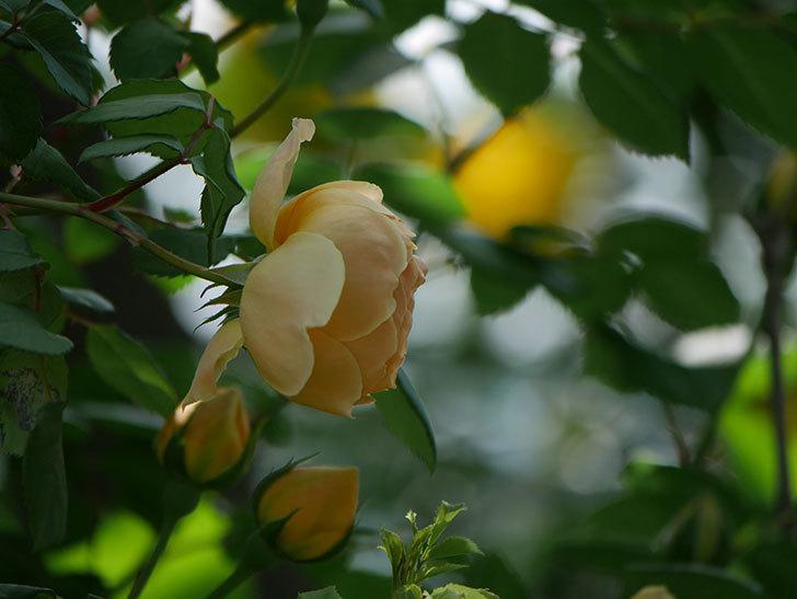 ジュード・ジ・オブスキュア(ツルバラ)の花が咲いた。2019年-15.jpg