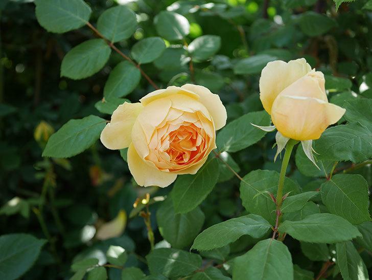 ジュード・ジ・オブスキュア(ツルバラ)の花が咲いた。2019年-2.jpg