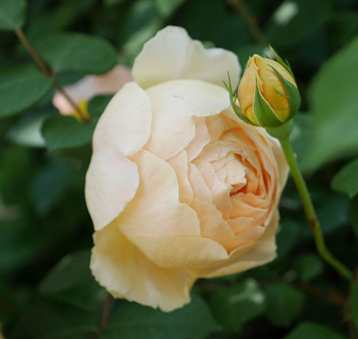 ジュード・ジ・オブスキュア(ツルバラ)の花が咲いた。2019年-3.jpg