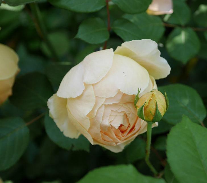 ジュード・ジ・オブスキュア(ツルバラ)の花が咲いた。2019年-5.jpg