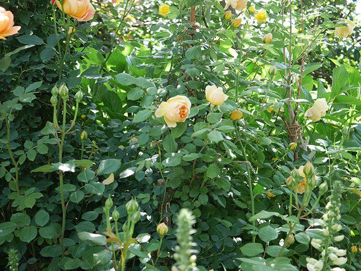 ジュード・ジ・オブスキュア(ツルバラ)の花が咲いた。2019年-7.jpg