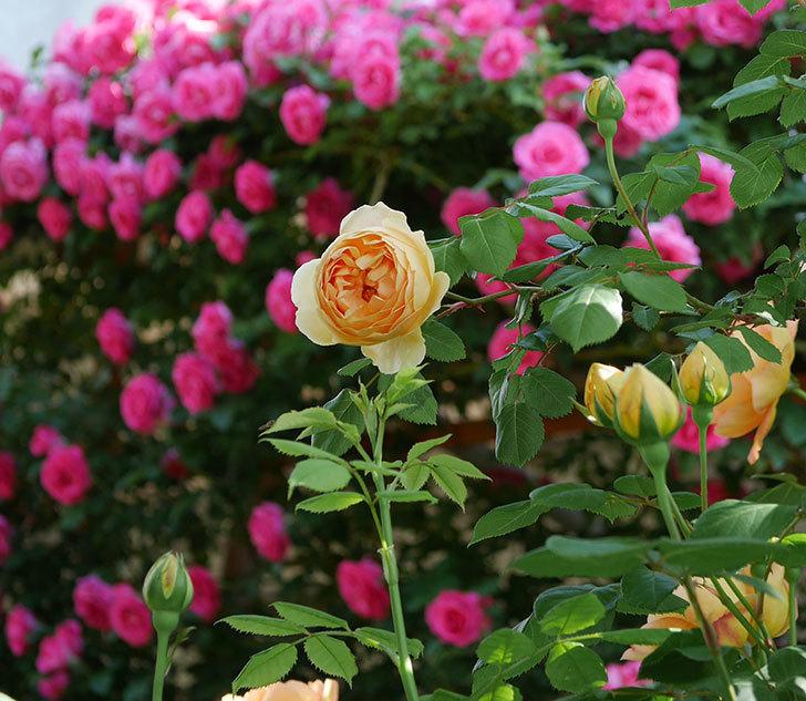 ジュード・ジ・オブスキュア(ツルバラ)の花が咲いた。2019年-8.jpg