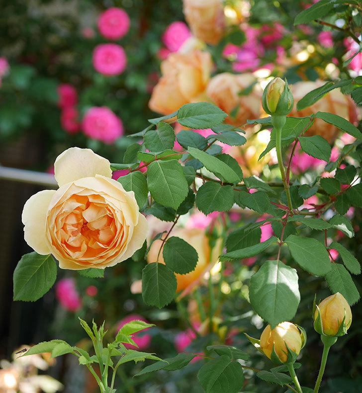 ジュード・ジ・オブスキュア(ツルバラ)の花が咲いた。2019年-9.jpg