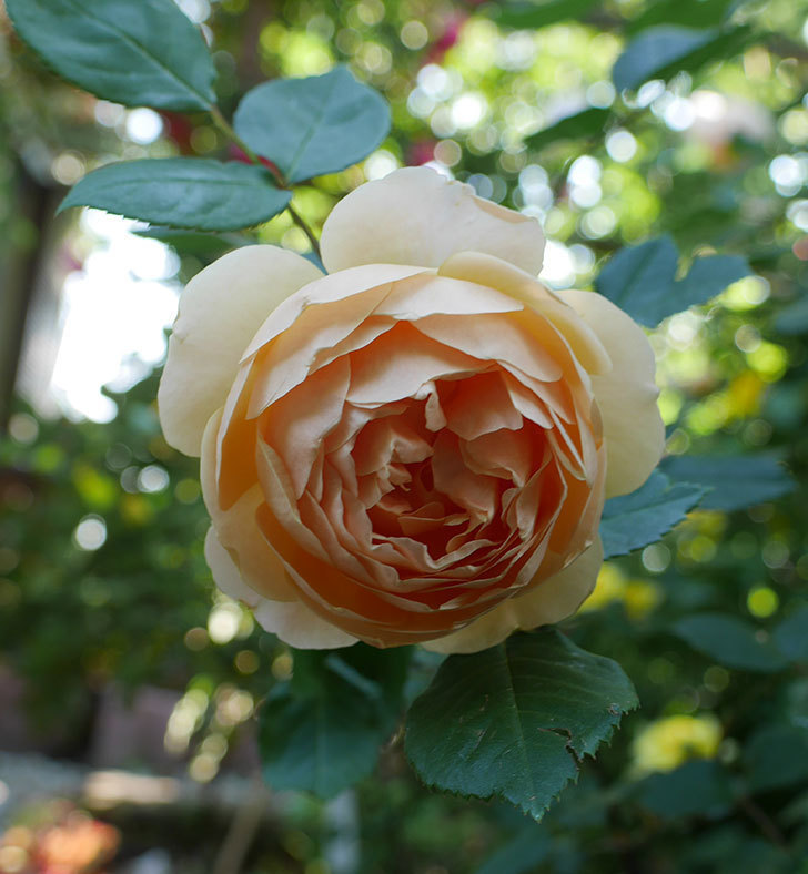 ジュード・ジ・オブスキュア(ツルバラ)の花が咲きだした。2018年-7.jpg