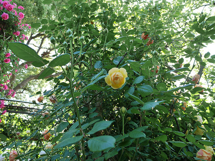 ジュード・ジ・オブスキュア(ツルバラ)の花が咲きだした。2018年-8.jpg