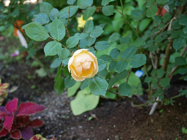 ジュード・ジ・オブスキュア(ツルバラ)の花が咲きだした。2018年-9.jpg