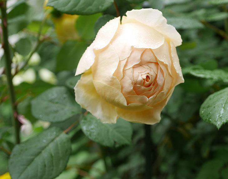 ジュード・ジ・オブスキュア(ツルバラ)の花が咲きだした。2019年-1.jpg