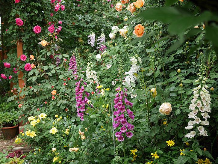 ジュード・ジ・オブスキュア(ツルバラ)の花が咲きだした。2019年-11.jpg