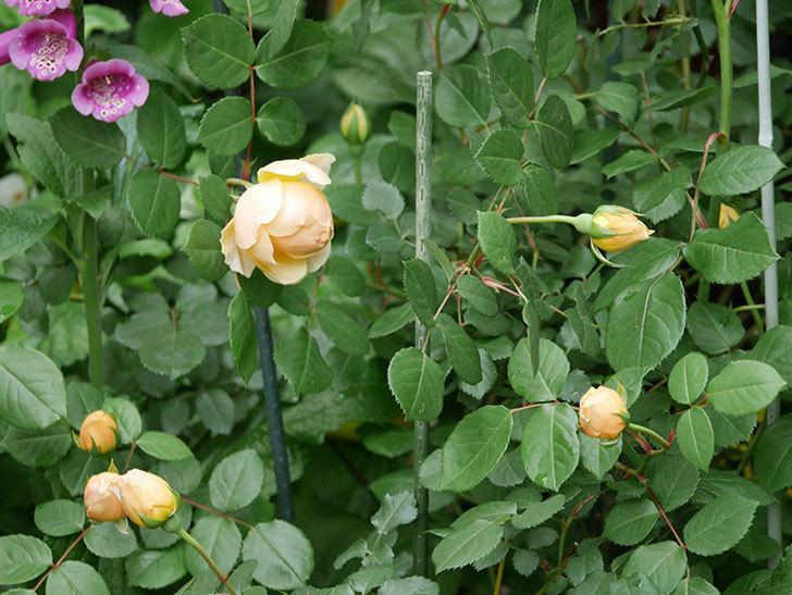 ジュード・ジ・オブスキュア(ツルバラ)の花が咲きだした。2019年-15.jpg