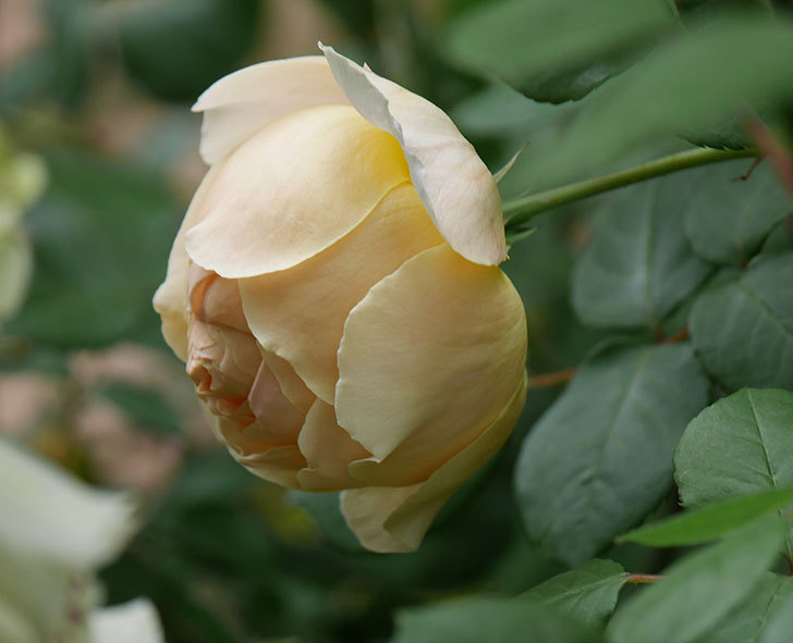 ジュード・ジ・オブスキュア(ツルバラ)の花が咲きだした。2019年-16.jpg