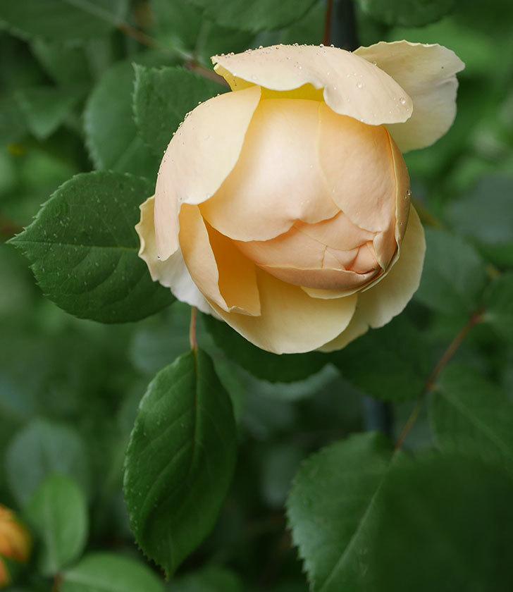 ジュード・ジ・オブスキュア(ツルバラ)の花が咲きだした。2019年-17.jpg