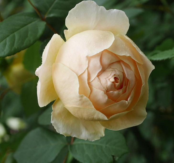 ジュード・ジ・オブスキュア(ツルバラ)の花が咲きだした。2019年-18.jpg