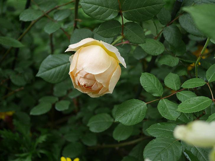 ジュード・ジ・オブスキュア(ツルバラ)の花が咲きだした。2019年-19.jpg