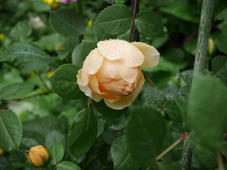 ジュード・ジ・オブスキュア(ツルバラ)の花が咲きだした。2019年-2.jpg