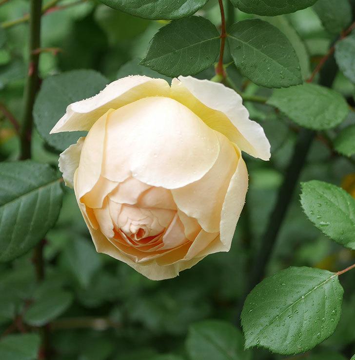 ジュード・ジ・オブスキュア(ツルバラ)の花が咲きだした。2019年-20.jpg