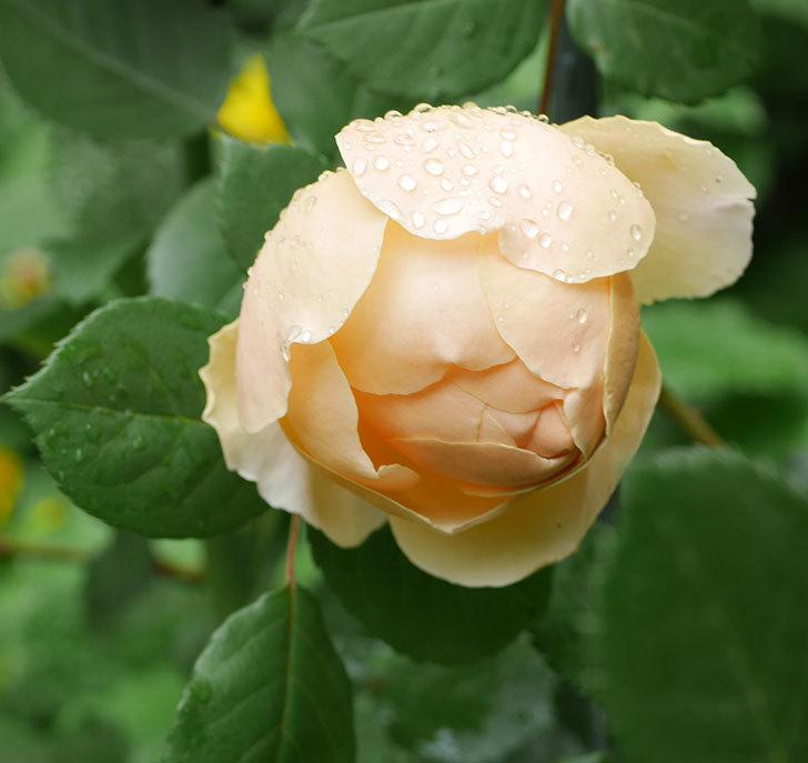 ジュード・ジ・オブスキュア(ツルバラ)の花が咲きだした。2019年-3.jpg