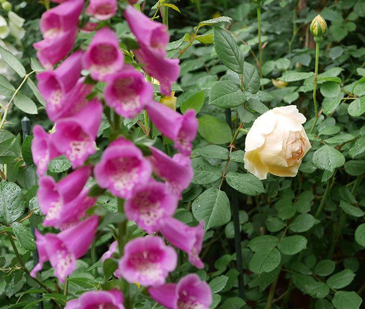 ジュード・ジ・オブスキュア(ツルバラ)の花が咲きだした。2019年-7.jpg
