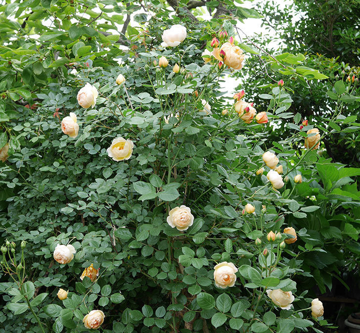 ジュード・ジ・オブスキュア(ツルバラ)の花が増えてきた。2018年-1.jpg