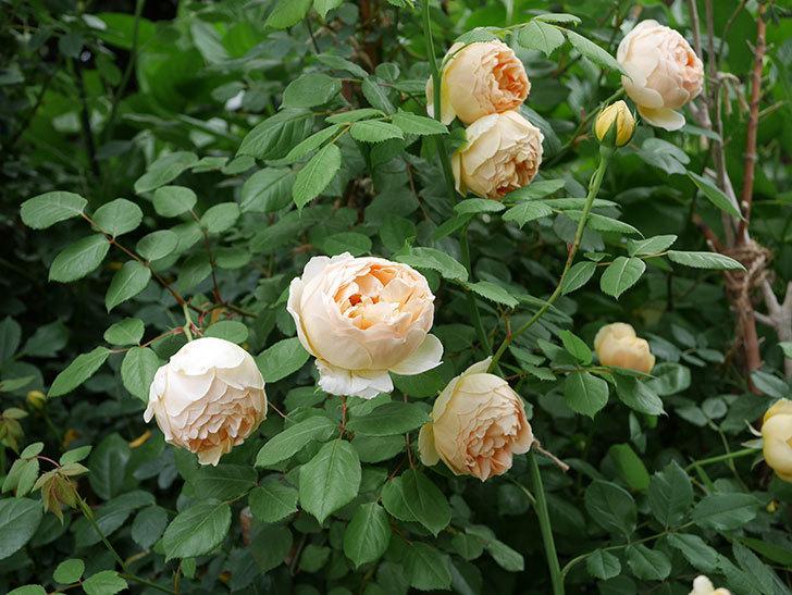ジュード・ジ・オブスキュア(ツルバラ)の花が増えて来た。2019年-1.jpg