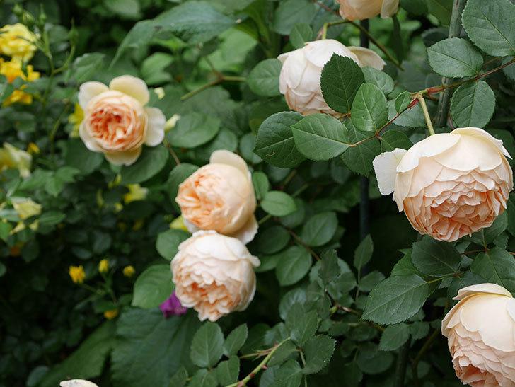 ジュード・ジ・オブスキュア(ツルバラ)の花が増えて来た。2019年-10.jpg