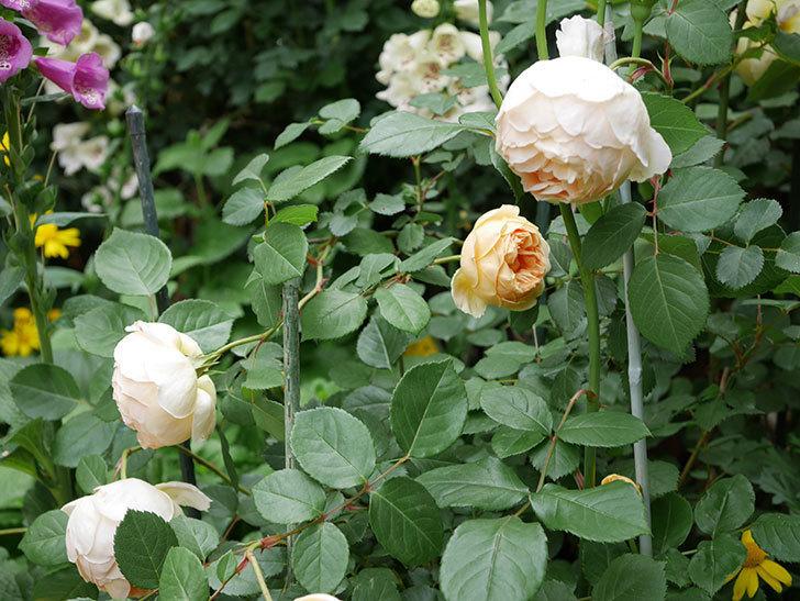ジュード・ジ・オブスキュア(ツルバラ)の花が増えて来た。2019年-11.jpg