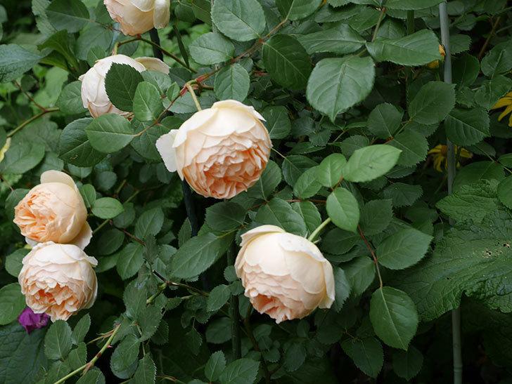 ジュード・ジ・オブスキュア(ツルバラ)の花が増えて来た。2019年-12.jpg